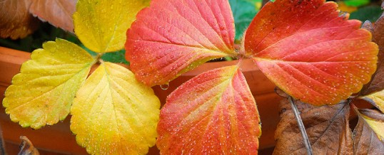 """""""Yellow the wet wild strawberry leaves"""""""