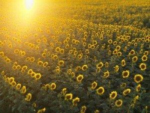 summer-photo-sunflowers-sun